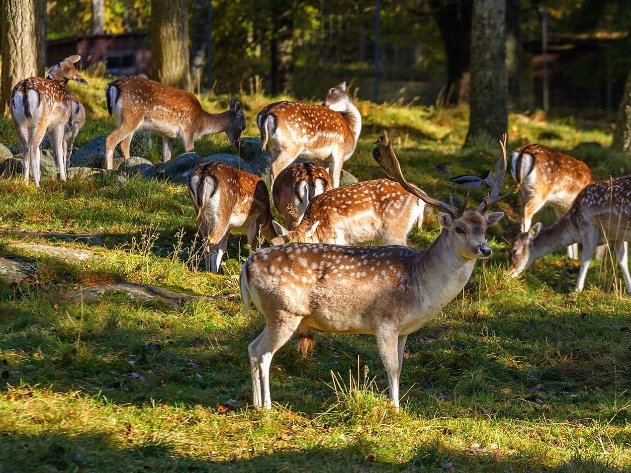 Fallow Deer WildGame Species Wide Header
